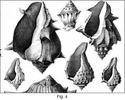 """Exemple de planche gravée par Grateloup (Atlas, 1847), les """"Pyrules"""""""
